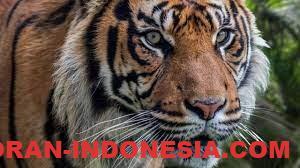 Harimau Terbesar Di Dunia